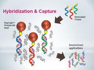 dna-capture-with-streptavidin-beads-and-biotinylated-probes